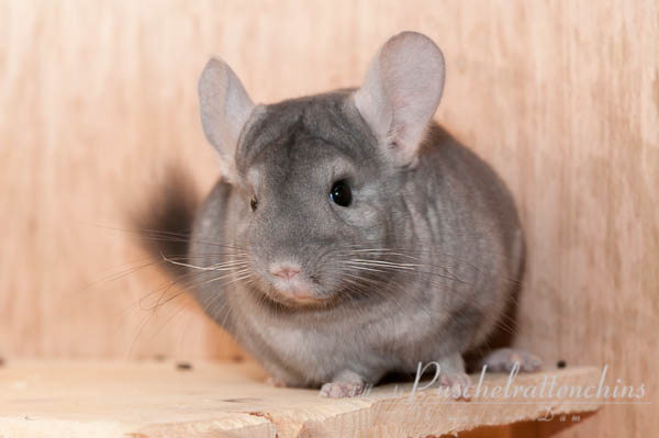 Thomas van Dam Chinchilla